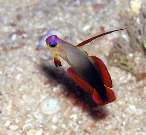アケボノハゼ幼魚